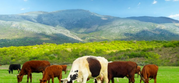Vital Reasons to Buy Bred Cows for Sale from a Reputable Beef Rancher